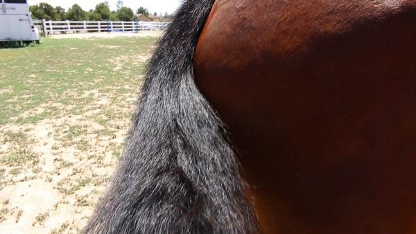 Kiss My Horse XOXO Detangler and Shine