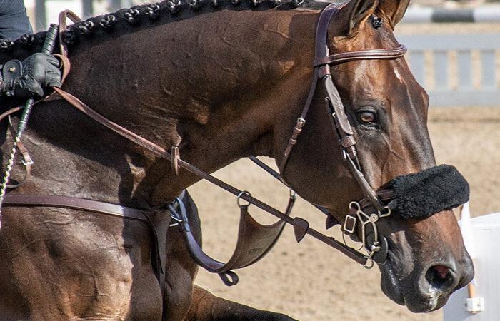 a jumper horse close up of his bridle