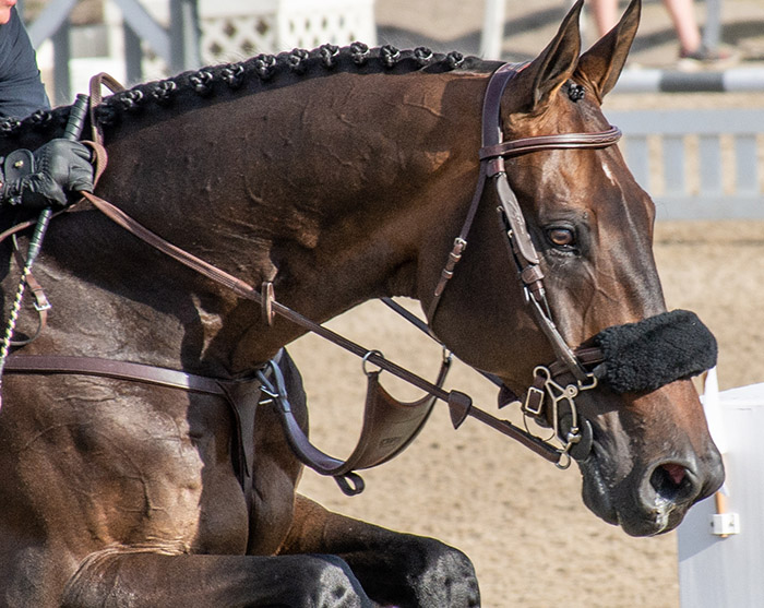 a jumper horse close up of his bridle