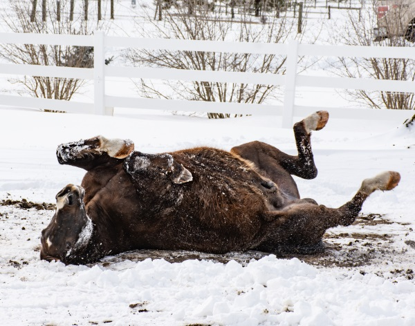 A horse rolling in the snow