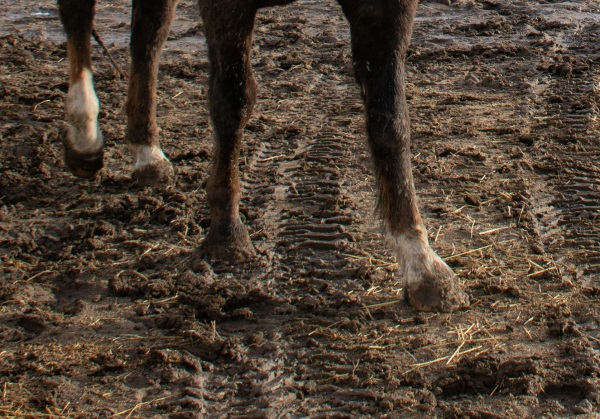 A close up of  horse in a muddy pasture