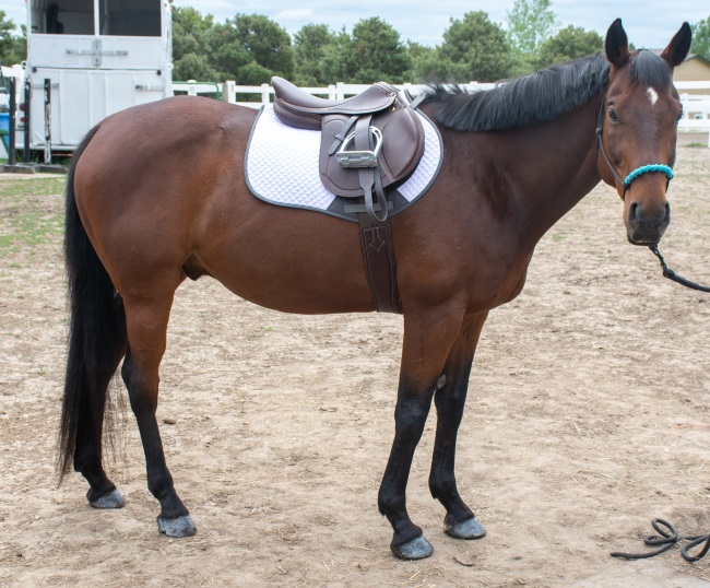 a horse in an English saddle