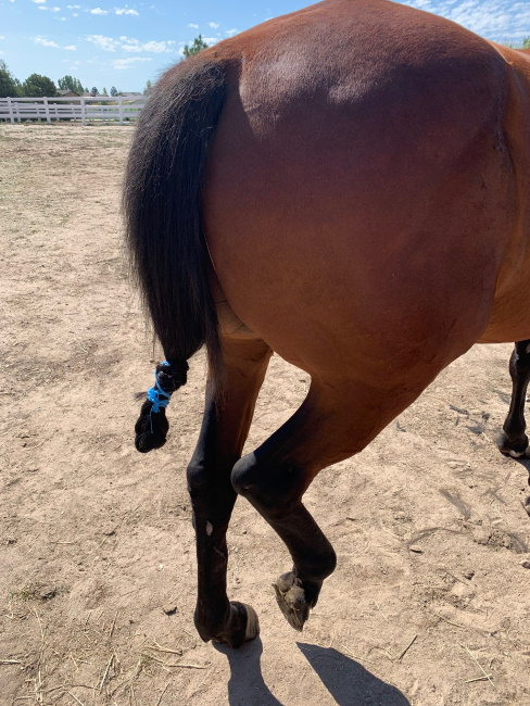 a horse with a tied up tail