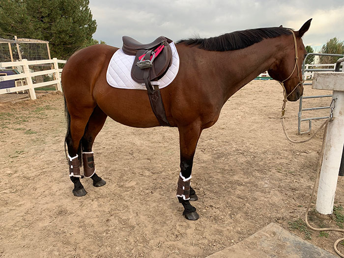 a horse in English tack